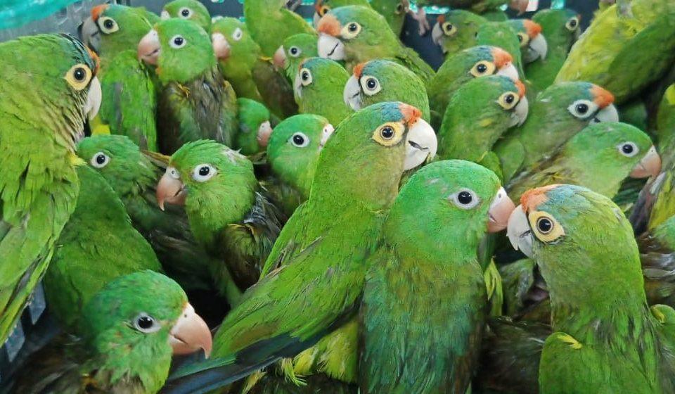 Rescatan autoridades a 383 cotorras y detienen a banda dedicada al tráfico de fauna silvestre