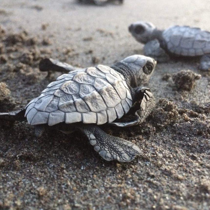 Inició la temporada de arribo de la Tortuga Marina en Playas de la Costa de Chiapas