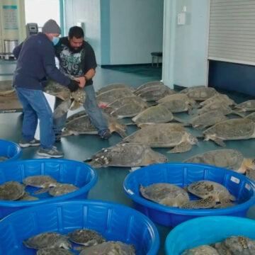 Miles de tortugas marinas son rescatadas frente a la costa de Texas