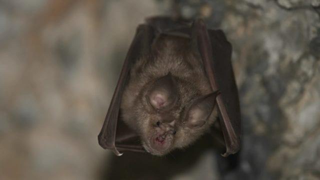 Coronavirus pasó de murciélagos a humanos a través de otro animal, supone OMS