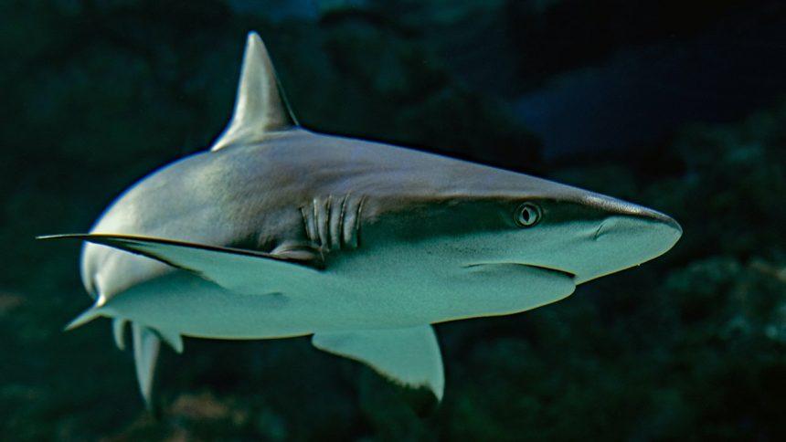 Tiburones, mantarrayas y quimeras, en peligro de extinción 'sin precedentes'