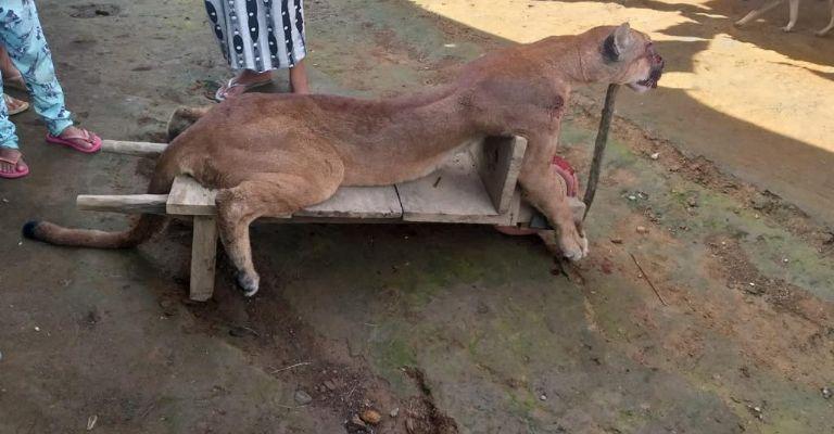 Un puma fue cazado y sacrificado por campesinos en Cacahoatán, Chiapas