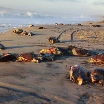 Encuentran 300 tortugas golfinas muertas en Oaxaca